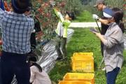2019년 홍로수확체험